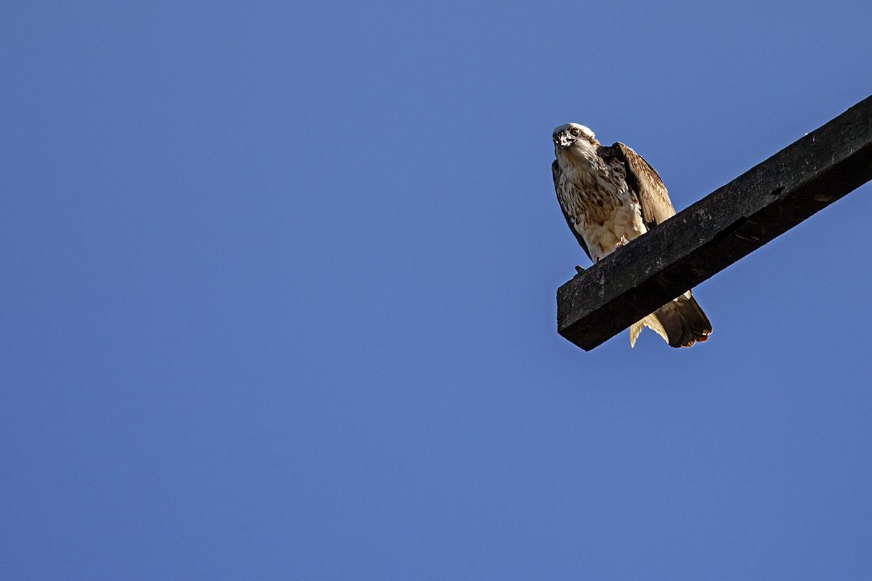 Osprey - Tail