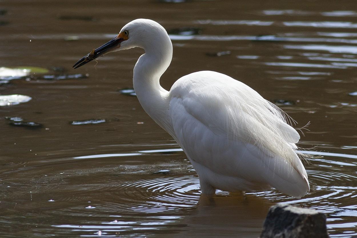 Lunching Egret
