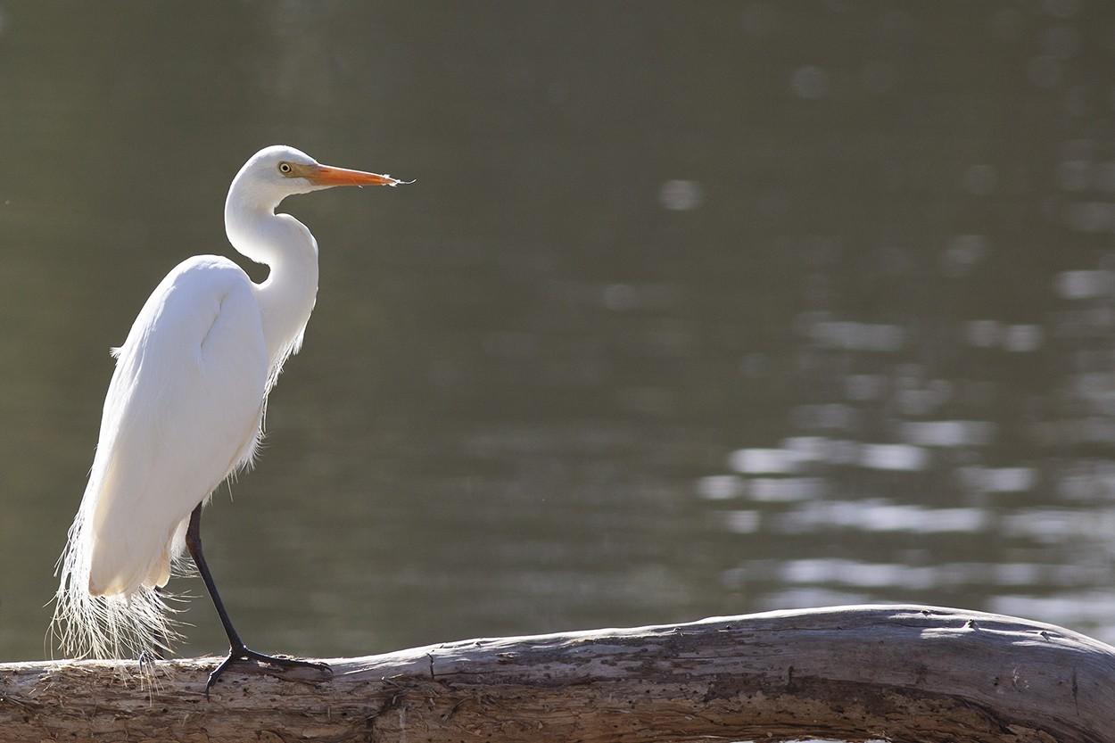 Spring Egret