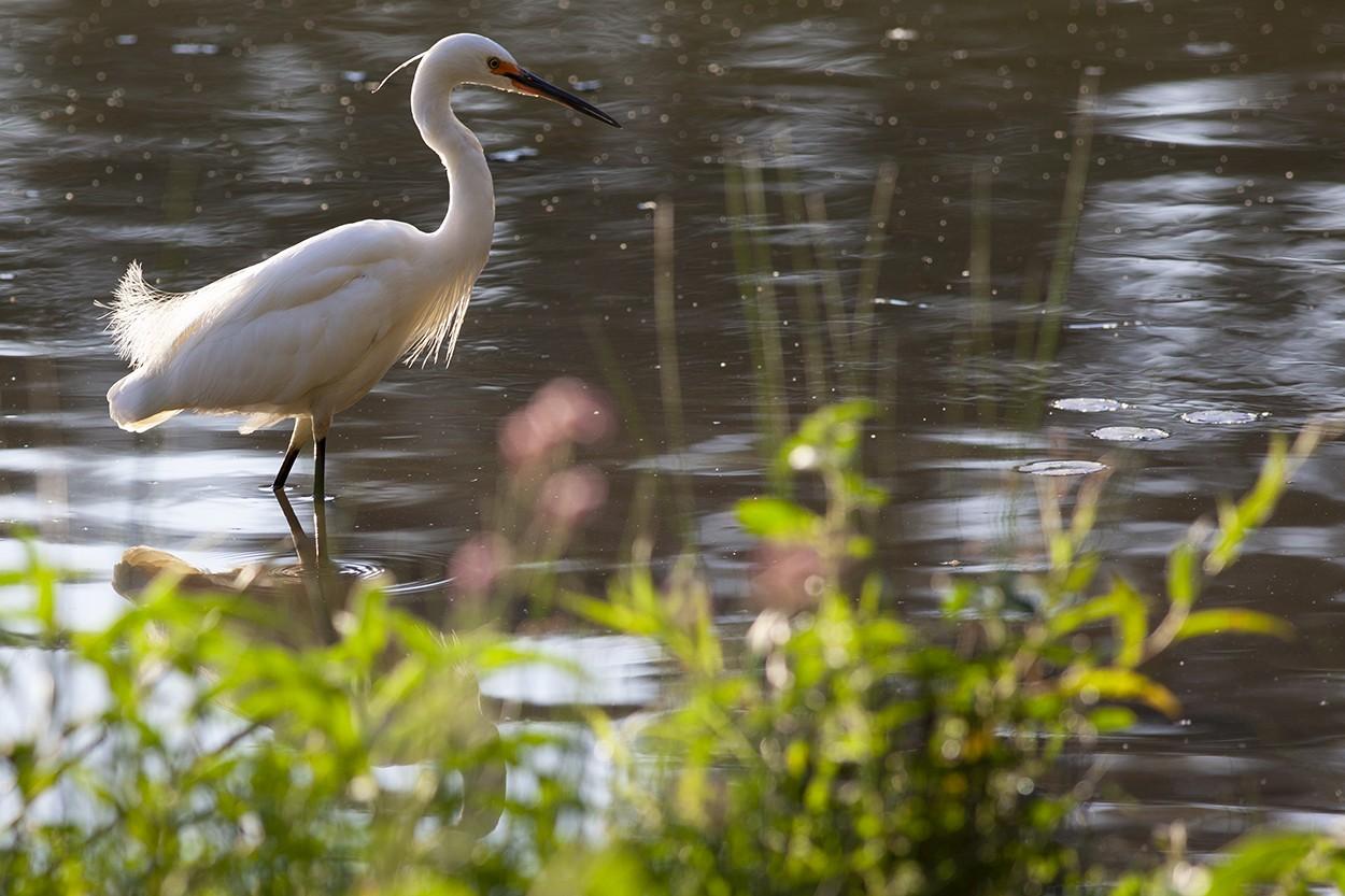 Plumed Egret
