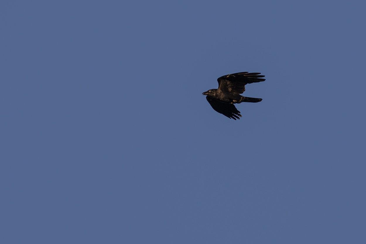 Crow Surprise