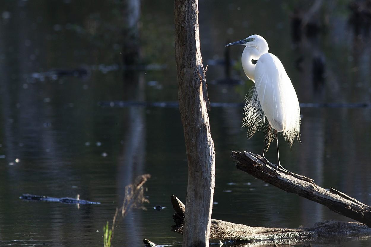 Showoff Egret