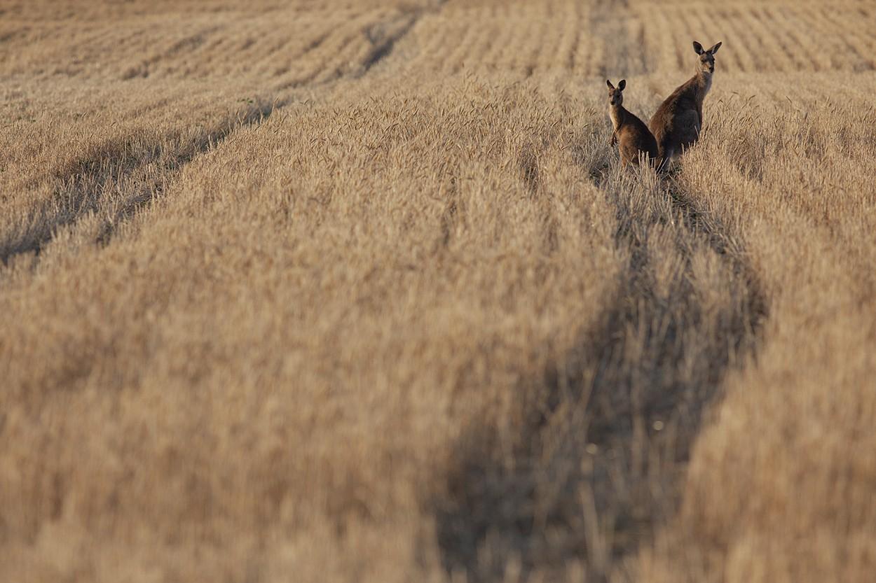 Queensland Wheat