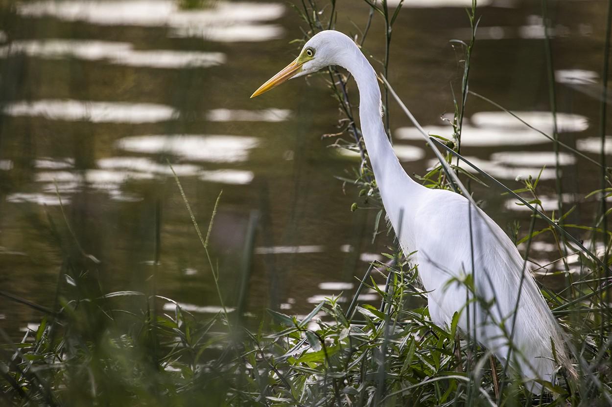 Quiet Egret