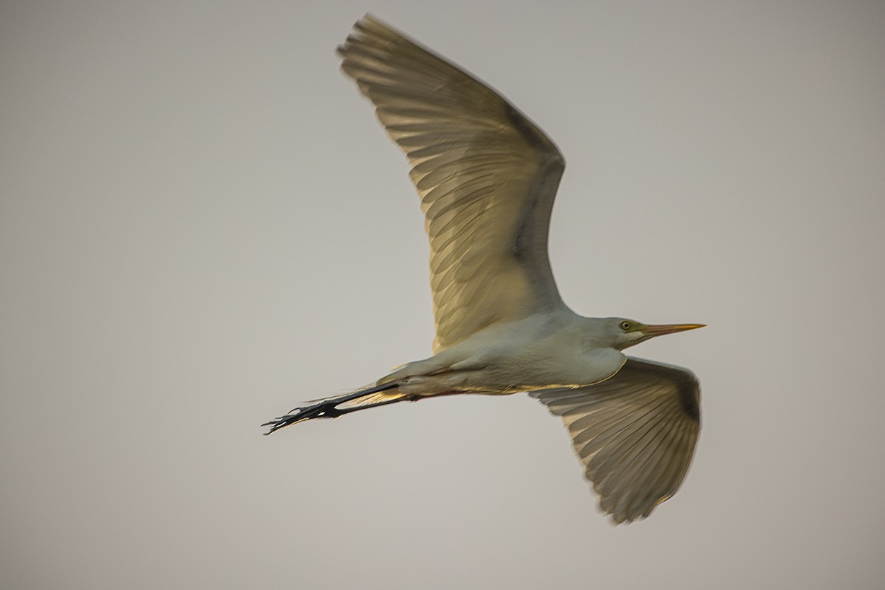 Egret Drift
