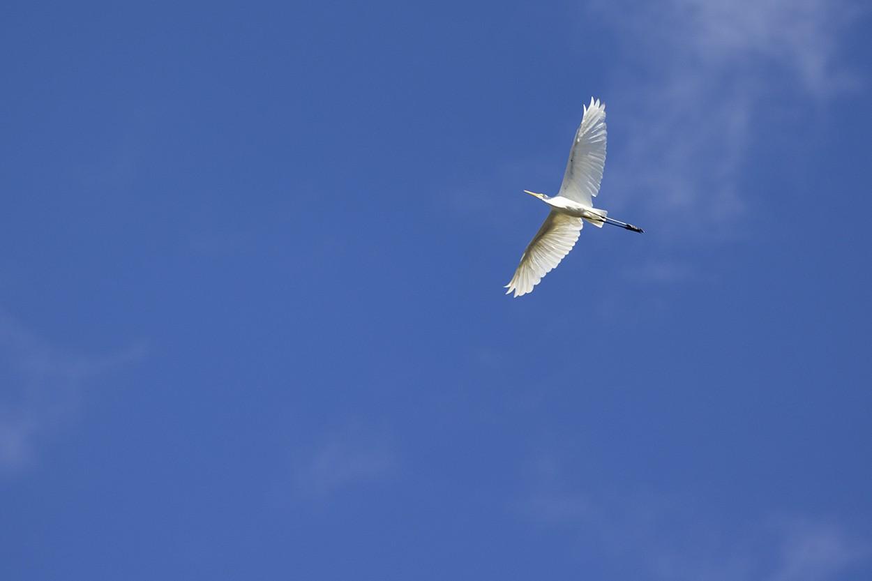 Soar Like An Egret