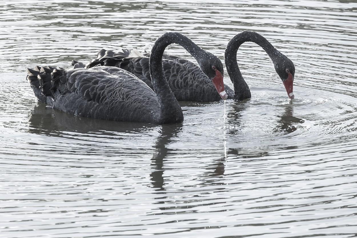 Swan Duo