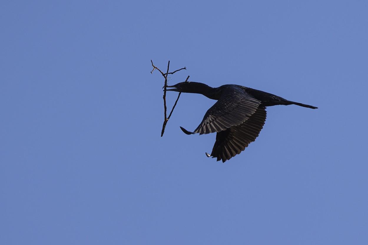 Construction Cormorant