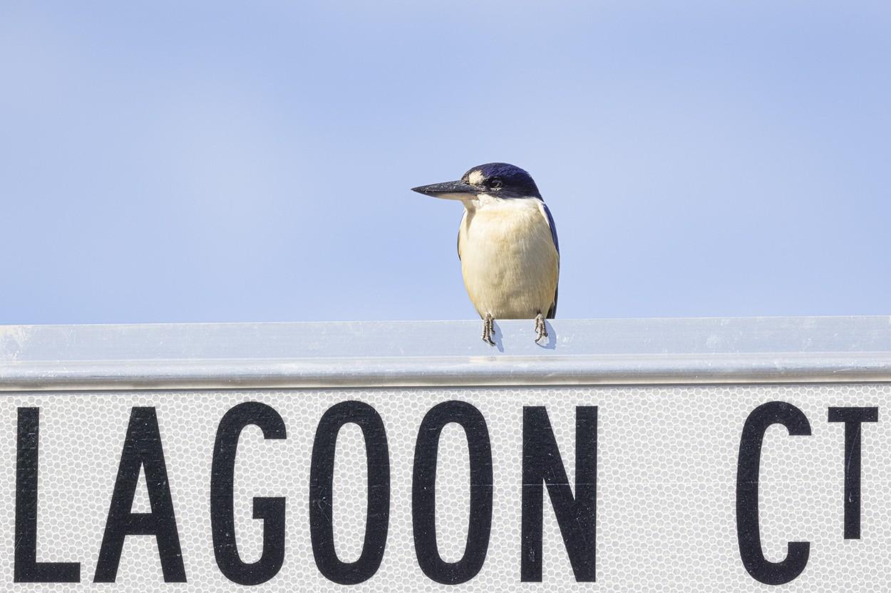 Lagoon King