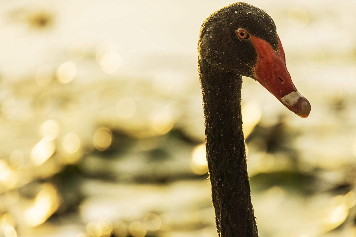 Boss Swan