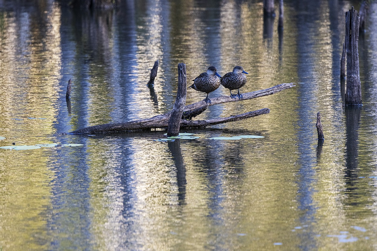Duck Roost